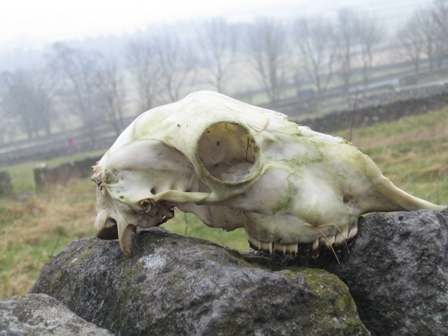 sheep-skull.jpg