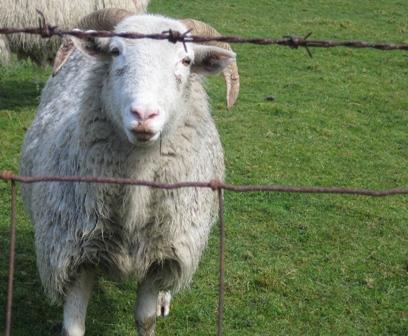 Quiet Sheep