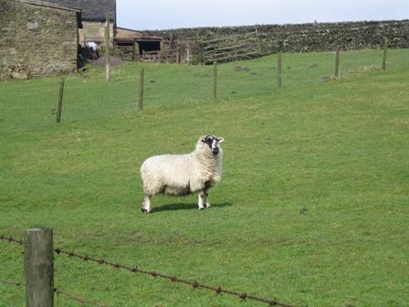 Sheep who Moos