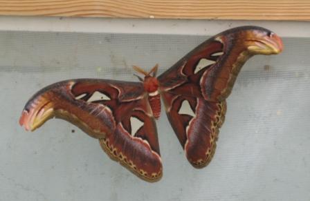 8-inch moth