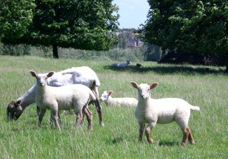I just love sheep