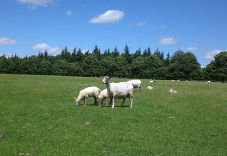 shorn mama sheep