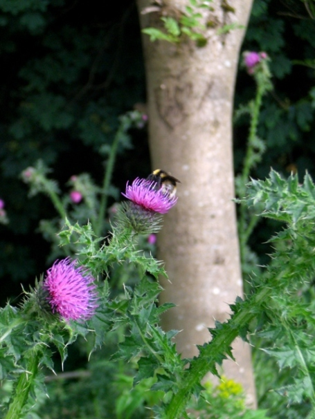 The Thistle, the Scottish national flower